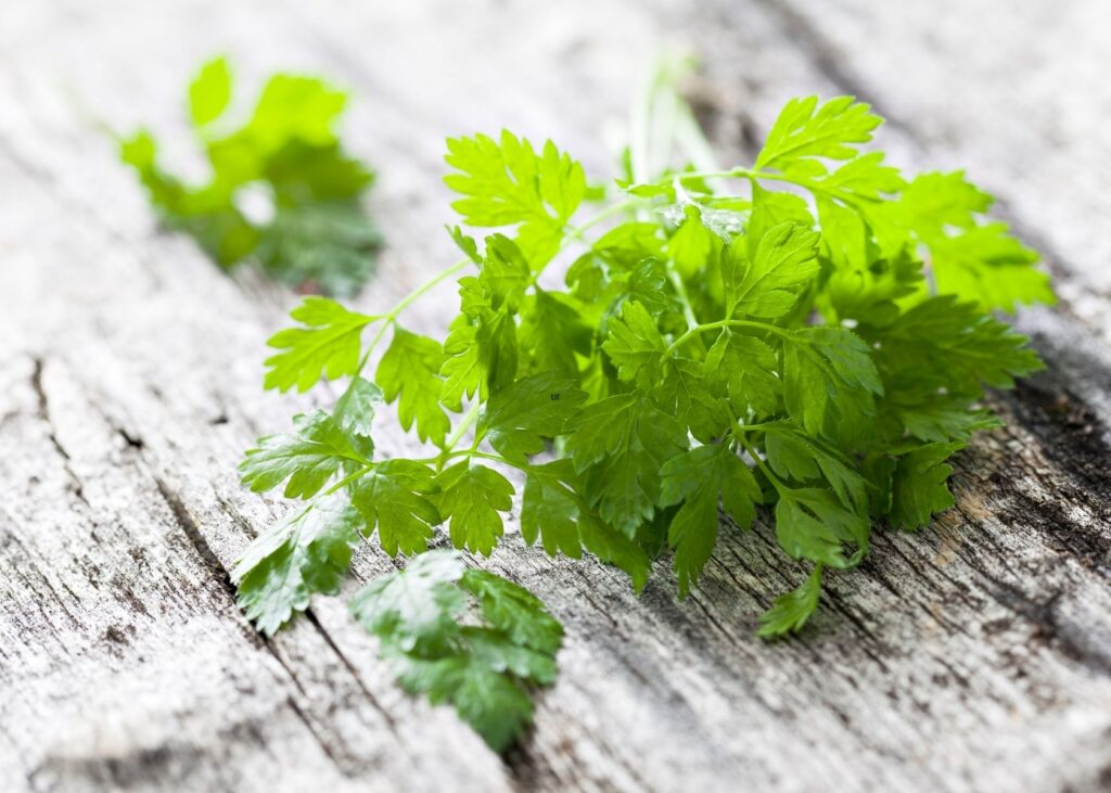 Bunch of chervil leaves on wooden table.