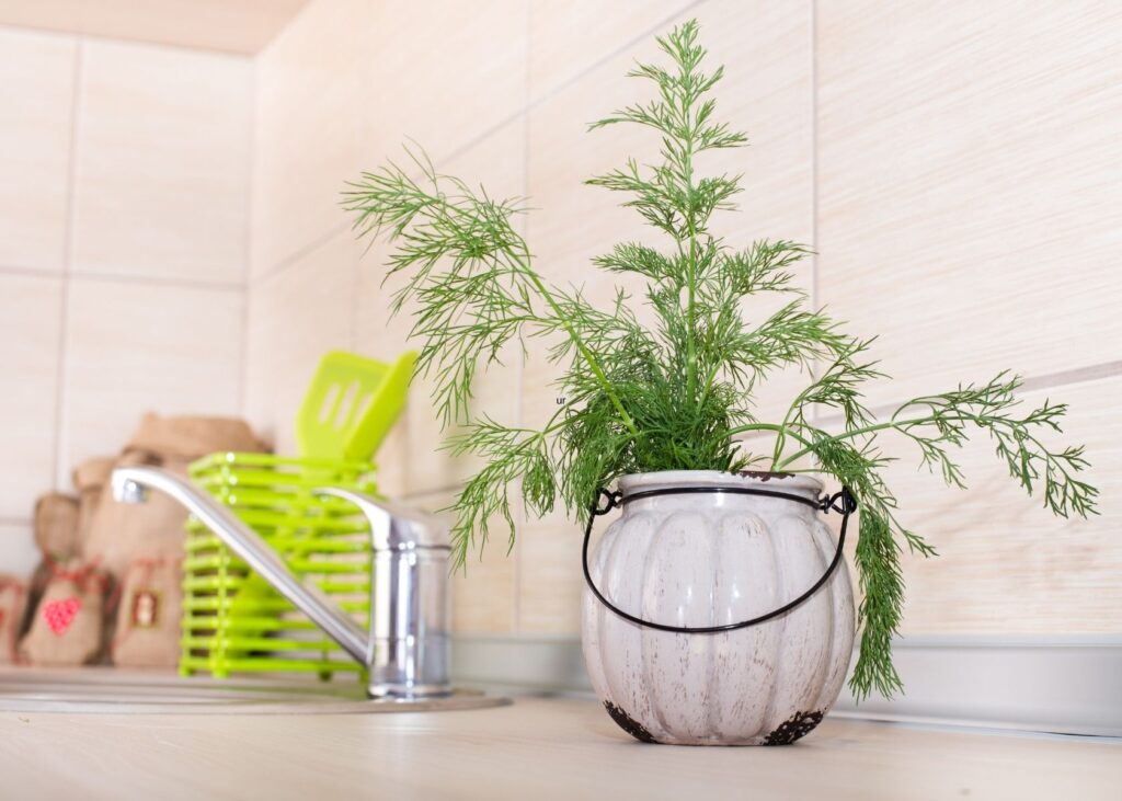 Fresh dill grows in pot on kitchen counter with cooking utensils and a faucet in background.