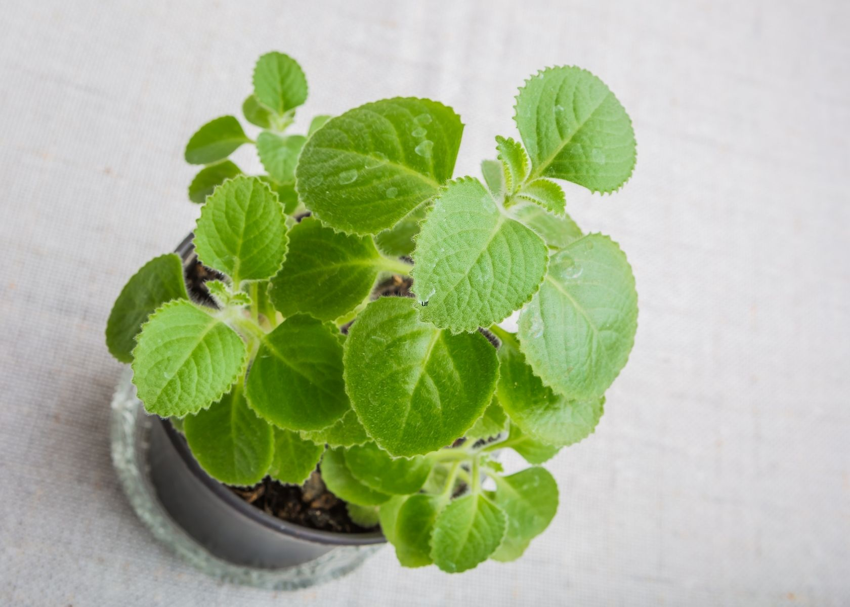 Overhead photo of Mexican oregano in pot on gray table.