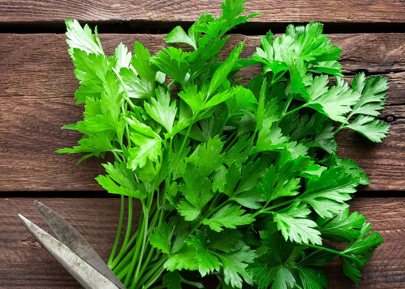 Bunch of fresh parsley on rustic wooden table.
