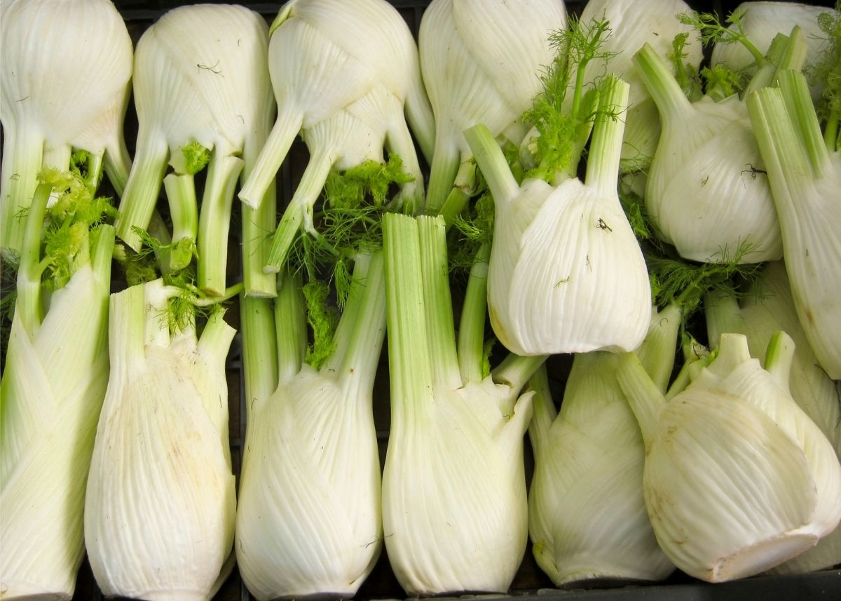 Fennel bulbs with stalks and leaves lined up and piled on top of each other.